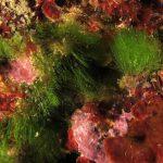 alga erba 10 150x150 Cladofora prolifera   Alga erba