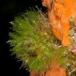 alga erba 17 150x150 Cladofora prolifera   Alga erba