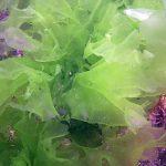 alga lattuga 04 150x150 Ulva rigida, Ulva lactuca, Alga lattuga