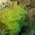 alga-lattuga-09