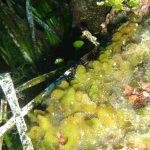 alga mammelloni verdi 08 150x150 Codium coralloides, Alga mammelloni verdi