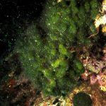 alga mammelloni verdi 13 150x150 Codium coralloides, Alga mammelloni verdi