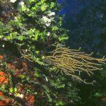 alga monetina 02 150x150 Alga monetina di mare