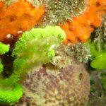 alga monetina 04 150x150 Alga monetina di mare