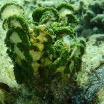 alga monetina 05 150x150 Alga monetina di mare