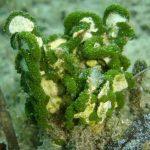 alga monetina 06 150x150 Alga monetina di mare