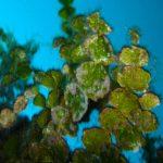 alga monetina 07 150x150 Alga monetina di mare