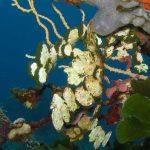 alga monetina 14 150x150 Alga monetina di mare