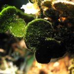 alga monetina 15 150x150 Alga monetina di mare