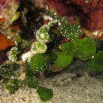 alga monetina 22 150x150 Alga monetina di mare
