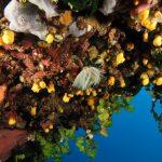 alga monetina 24 150x150 Alga monetina di mare