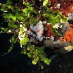 alga monetina 26 150x150 Alga monetina di mare