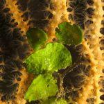 alga monetina 30 150x150 Alga monetina di mare