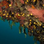 alga monetina 31 150x150 Alga monetina di mare