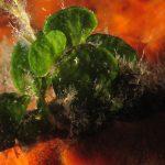 alga monetina 35 150x150 Alga monetina di mare