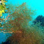 alga nastro forcelle 06 150x150 Alga nastro a forcelle   Dictyota dicotoma