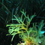 alga nastro forcelle 08 150x150 Alga nastro a forcelle   Dictyota dicotoma