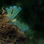 alga nastro forcelle 13 150x150 Alga nastro a forcelle   Dictyota dicotoma