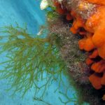 alga nastro forcelle 21 150x150 Alga nastro a forcelle   Dictyota dicotoma