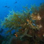 alga odorosa 06 150x150 Alga odorosa
