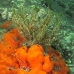 alga odorosa 19 150x150 Alga odorosa