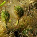 alga pennello 21 150x150 Alga pennello di nettuno