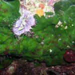 alga velluto 01 150x150 Palmophillum crassum, Alga velluto