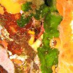 alga velluto 06 150x150 Palmophillum crassum, Alga velluto