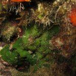 alga velluto 14 150x150 Palmophillum crassum, Alga velluto