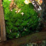 alga velluto 16 150x150 Palmophillum crassum, Alga velluto