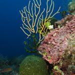 alga velluto 30 150x150 Palmophillum crassum, Alga velluto