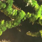 alga velluto 31 150x150 Palmophillum crassum, Alga velluto