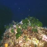 alga ventaglio 02 150x150 Udotea petiolata   Alga ventaglio