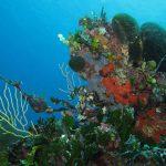 alga ventaglio 04 150x150 Udotea petiolata   Alga ventaglio