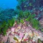 alga ventaglio 06 150x150 Udotea petiolata   Alga ventaglio