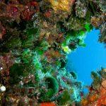 alga ventaglio 09 150x150 Udotea petiolata   Alga ventaglio