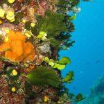 alga ventaglio 10 150x150 Udotea petiolata   Alga ventaglio