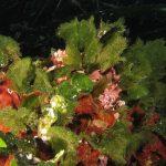 alga ventaglio 14 150x150 Udotea petiolata   Alga ventaglio