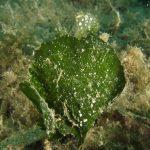 alga ventaglio 15 150x150 Udotea petiolata   Alga ventaglio
