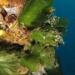 alga ventaglio 18 150x150 Udotea petiolata   Alga ventaglio