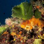 alga ventaglio 22 150x150 Udotea petiolata   Alga ventaglio
