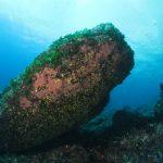 alga ventaglio 23 150x150 Udotea petiolata   Alga ventaglio