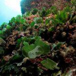 alga ventaglio 25 150x150 Udotea petiolata   Alga ventaglio