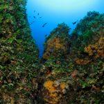 alga ventaglio 27 150x150 Udotea petiolata   Alga ventaglio