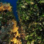 alga ventaglio 28 150x150 Udotea petiolata   Alga ventaglio