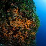 alga ventaglio 29 150x150 Udotea petiolata   Alga ventaglio