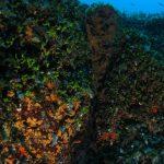 alga ventaglio 30 150x150 Udotea petiolata   Alga ventaglio