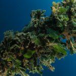 alga ventaglio 33 150x150 Udotea petiolata   Alga ventaglio
