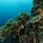 alga ventaglio 34 150x150 Udotea petiolata   Alga ventaglio