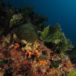 alga ventaglio 36 150x150 Udotea petiolata   Alga ventaglio